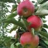 Jabloň stľpovitá WALTZ