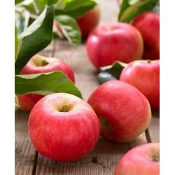 Jabloň stľpovitá CHARLOTTE