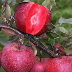 Jabloň REDLOVE, červená dužina