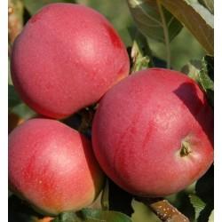 Jabloň JASNIEPAŇSKA